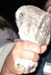 Saw-whet being held by the naturalist photo