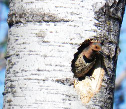 photo, yellow shafted Northern Flicker in hole made by Pileated Woodpecker