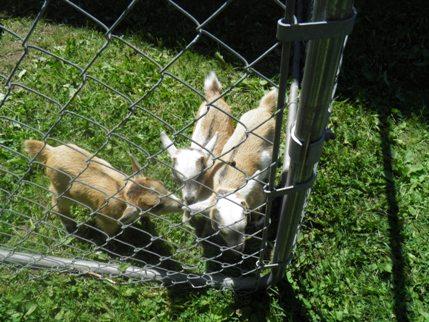 Free Three Billy Goats Gruff Play