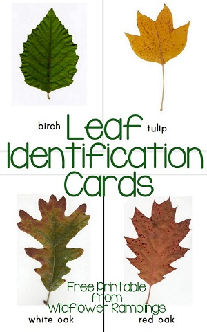 Leaf-identification-cards-free-printable