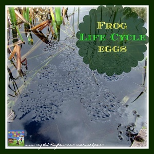 frog-life-cycle-1-frog-eggs