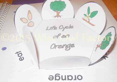 An Orange in January life cycle of an orange interactive notebook shape