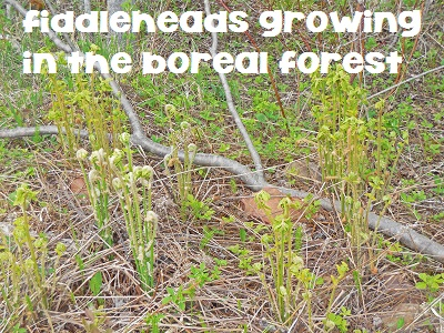 fiddleheads-in-our-yard-in-the-boreal-forest