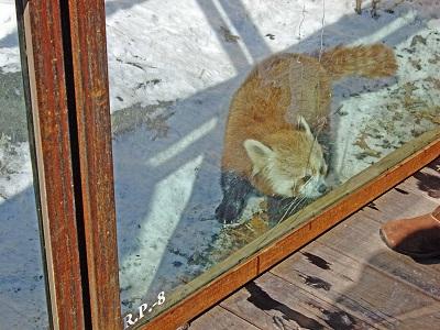 red-panda-at-national-zoo-USA