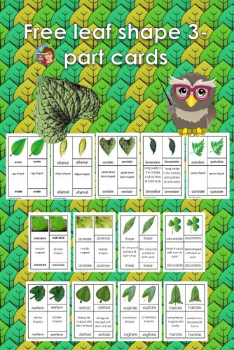 This post has a leaves shapes botany 3-part cards free PDF including orbiculate, ovate, elliptical, cordate, lanceolate, and more.