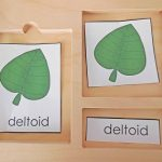 deltoid-shape-botany-3-part-cards