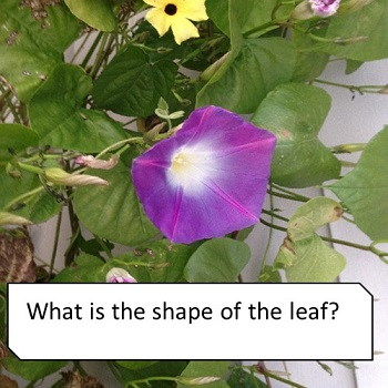 what-is-the-shape-of-the-leaf