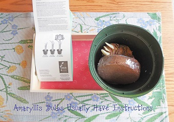 amaryllis-bulb-kits-come-with-instructions