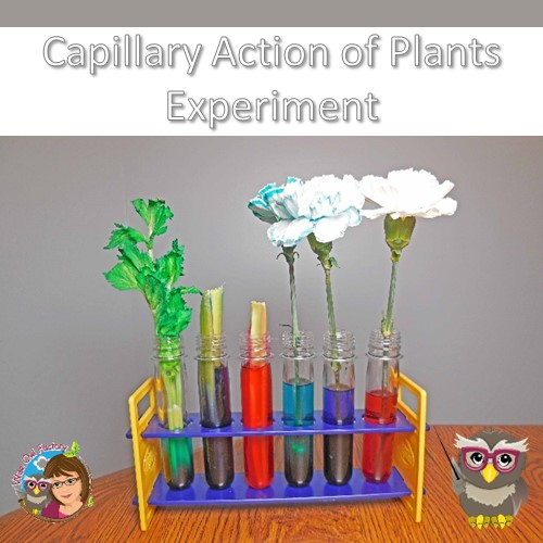 capillary-action-experiment-with-carnations-and-celery