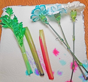 final-result-food-coloring-and-celery-carnations