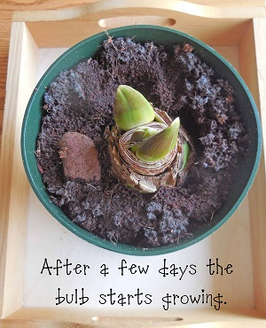 it-takes-a-few-days-for-the-bulb-to-start-growing