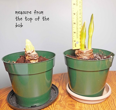 measuring-the-growth-of-the-Amaryllis