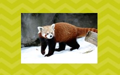 Free red panda narrative and expository writing frame