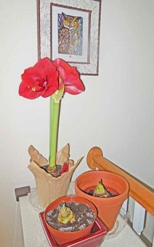 Amaryllis-from-florist-blooming-waiting-for-bulbs-to-grow
