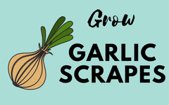 how-to-grow-your-own-garlic-scrapes-seasoning-at-home
