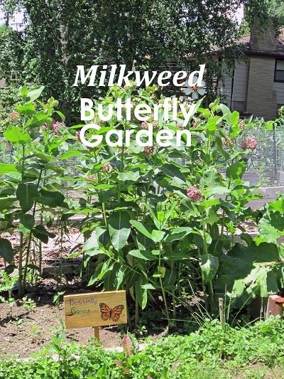 Milkweed-Butterfly-Garden-pollinator-lawn