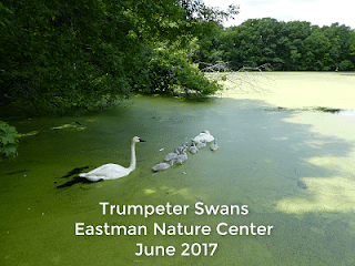 Trumpeter-Swans-Eastman-June-2017