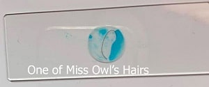 one-of-miss-Owl-hairs-prepared-for-examination